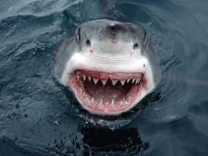 ashark-teeth